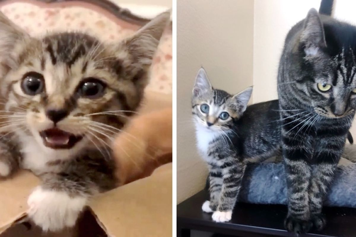 Couple Tries to Foster Kitten They Rescued, But Their Cat Has a Different Plan