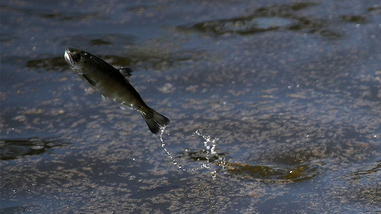 Trump Admin Moves to End Protections for Endangered Fish Threatened by California's Water Wars