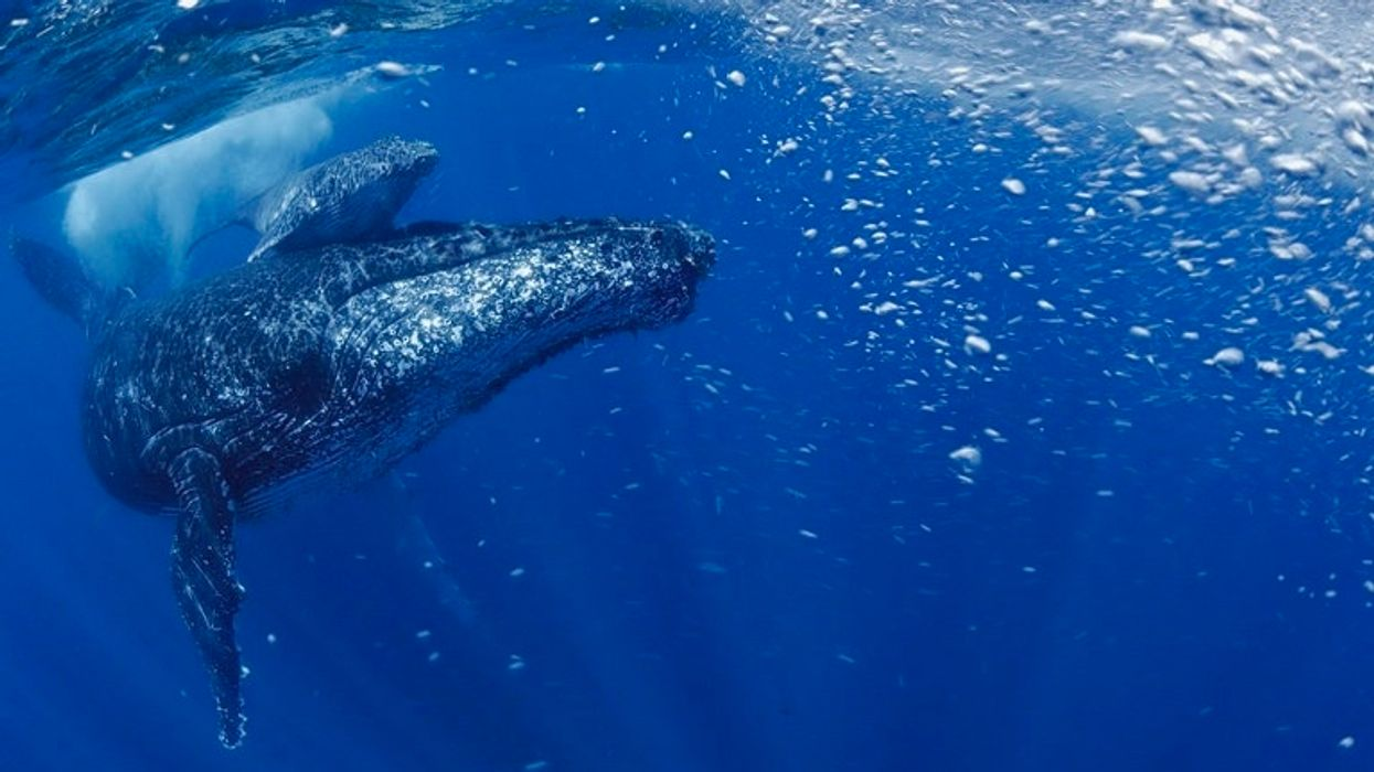 'Progressive Recovery' of 25K South Atlantic Humpback Whales. In 1950s there were 450