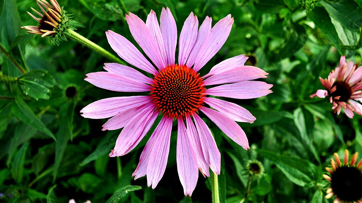 All the Benefits of Echinacea: A Popular Natural Remedy