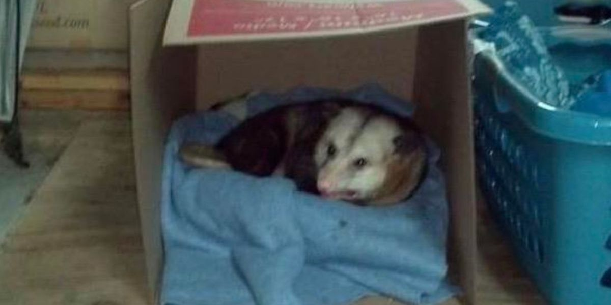 Person's Viral Story About An Opossum Named Hank That Lives In Their Aunt's Garage Has The Internet Obsessed