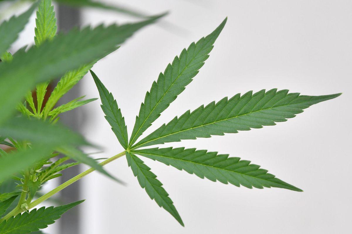 """Pro Vita & Famiglia: «Emendamento su cannabis light """"Manovra ideologica"""" sulla salute degli italiani»"""