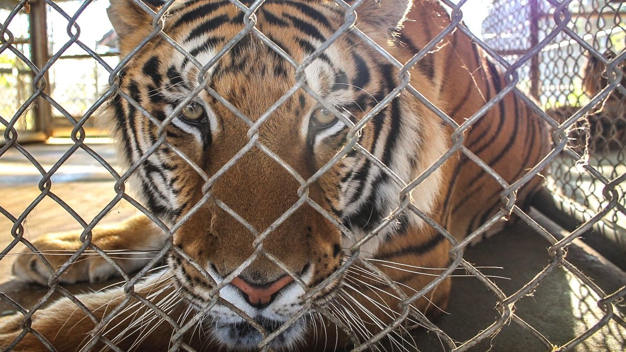 Did Illegal Wildlife Trade Cause Wild Tigers to Become Extinct in Laos?