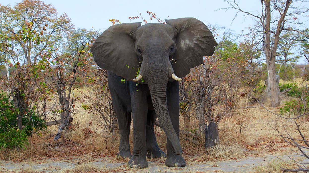 Hunters Banned in Botswana After Shooting and Killing Research Elephant