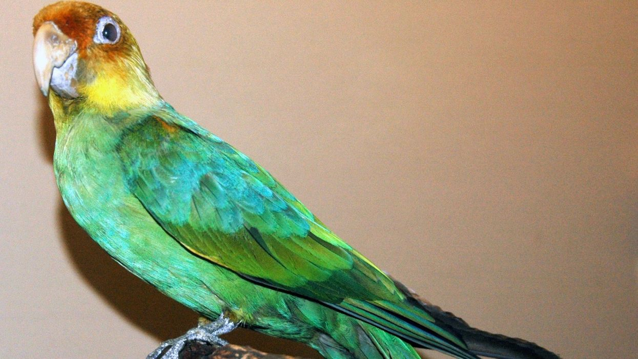 Humans to Blame for Extinction of Only Parrot Native to U.S., Study Finds