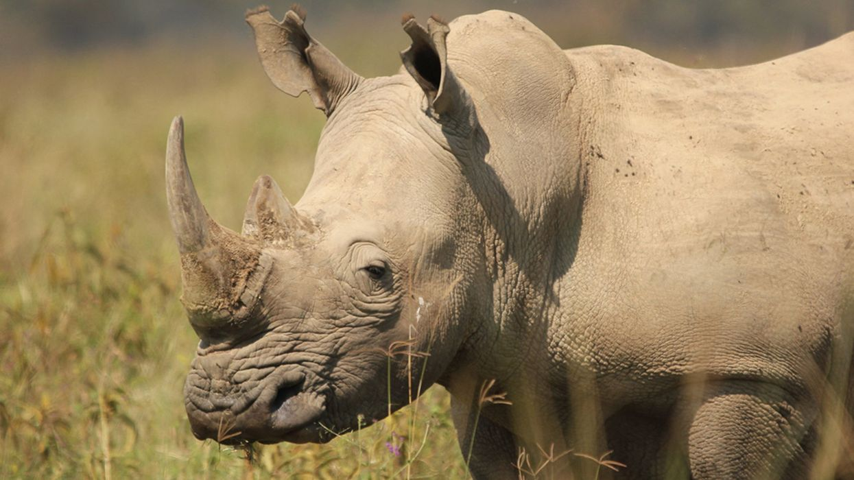 Enough With the Fake Rhino Horns