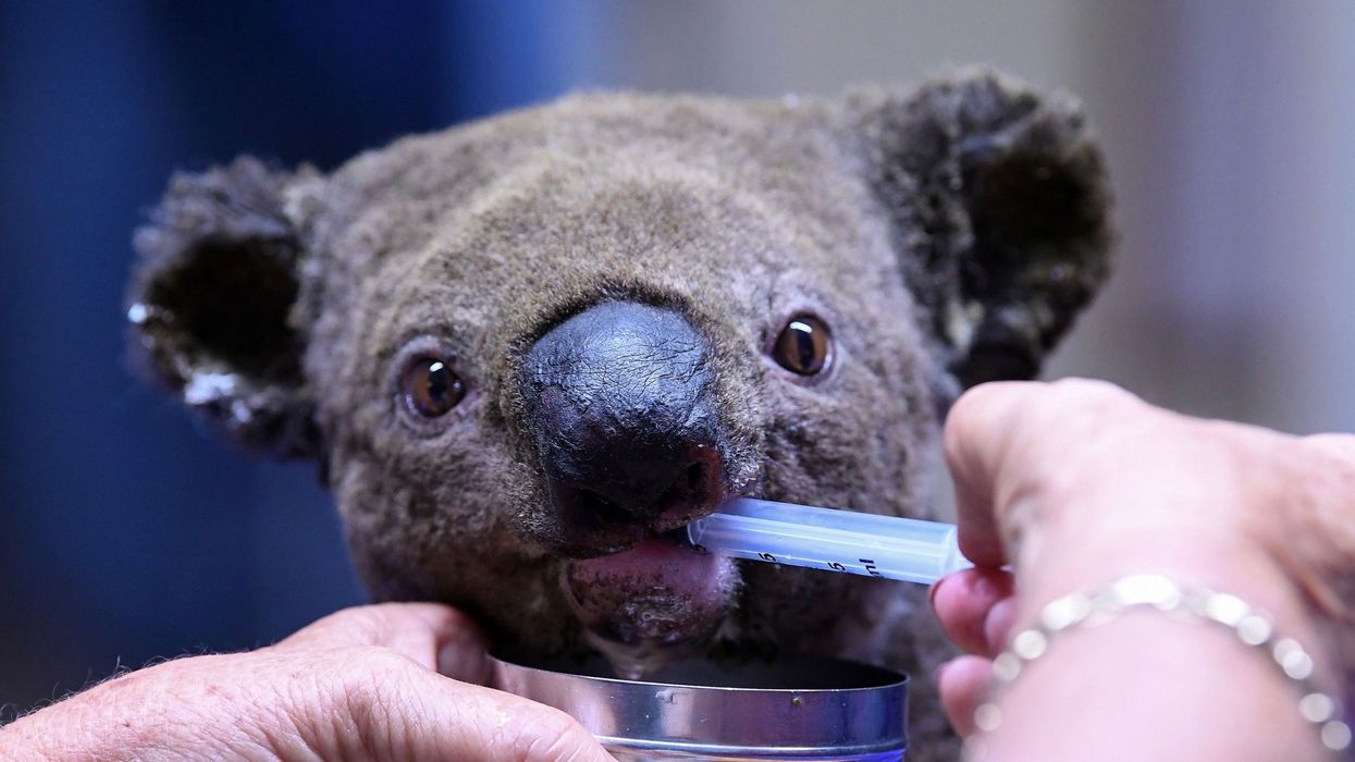 'Functionally Extinct' Koalas Have Now Lost 80% of Habitat Following Recent Fires, Experts Say