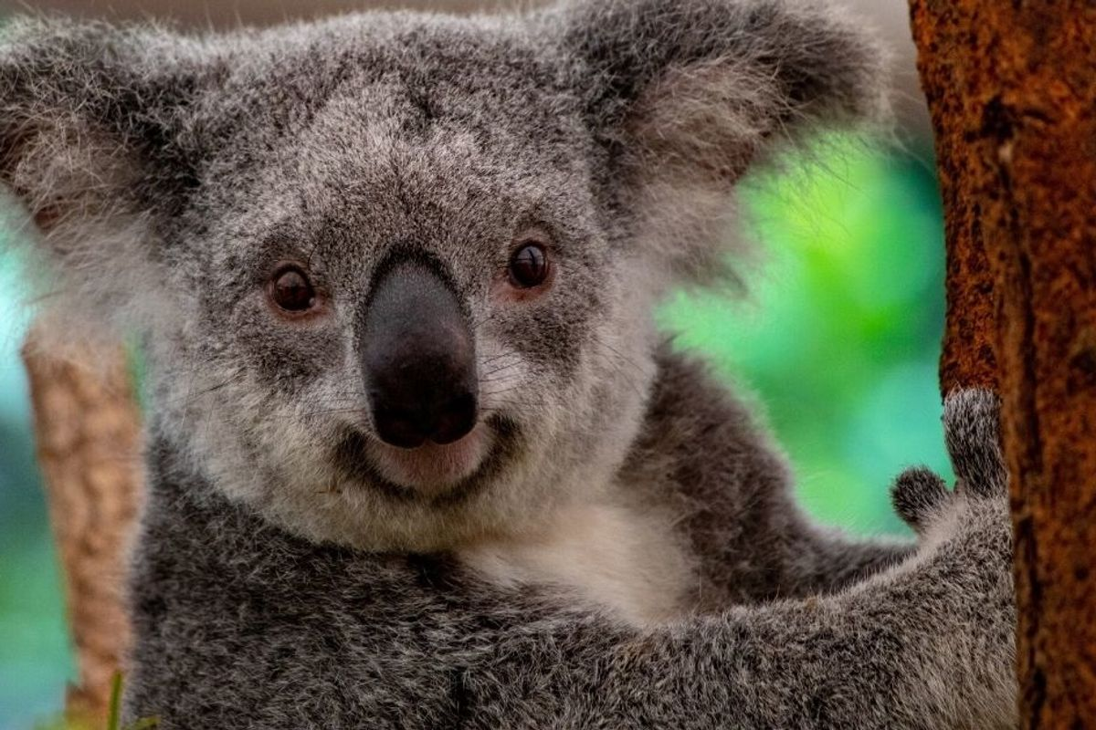 No, Koalas are not 'functionally extinct,' but that doesn't mean they're okay