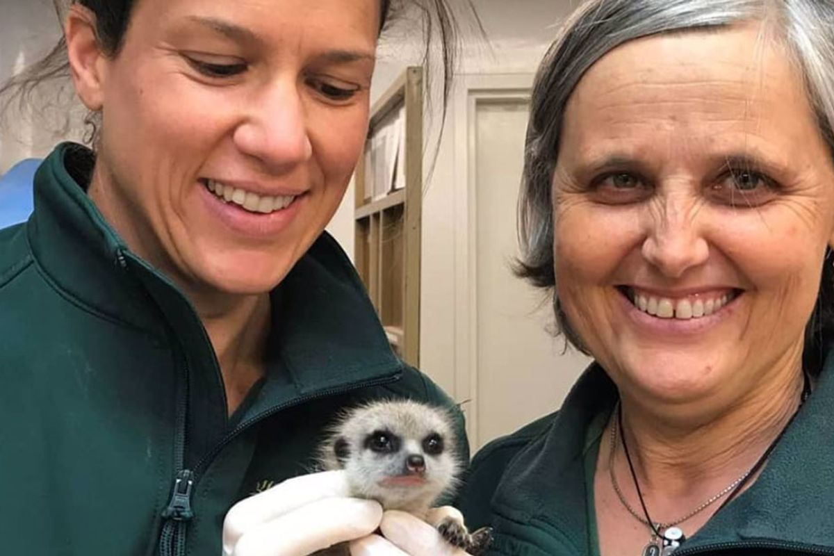 Someone stole a meerkat from the Perth Zoo because he thought it would 'be cool as a pet'