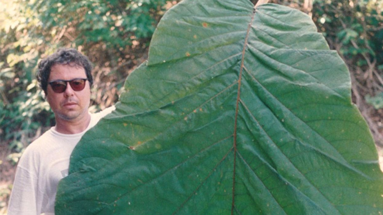 Amazonian Tree With Human-Sized Leaves Finally Gets New Species Recognition