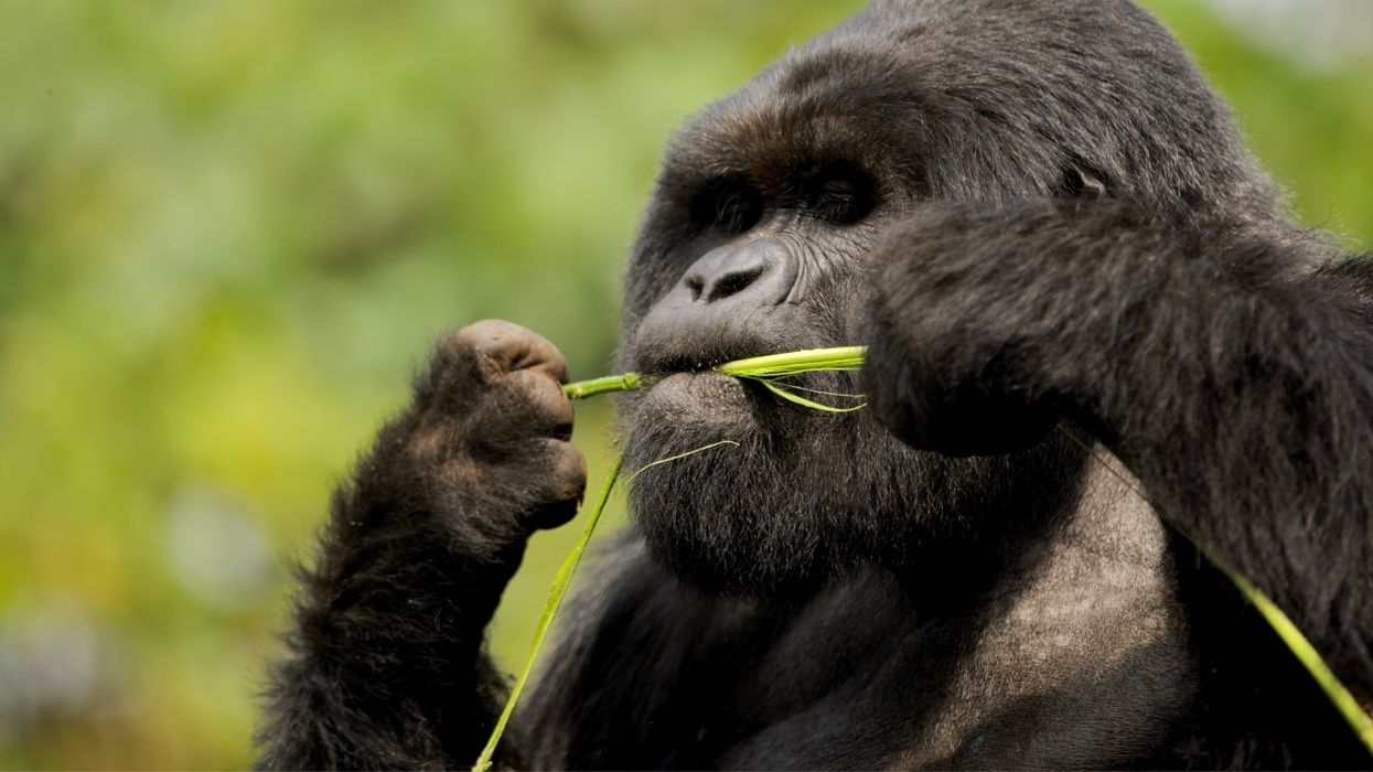 Nom-nom or dinner call? Silverbacks sing as they eat.
