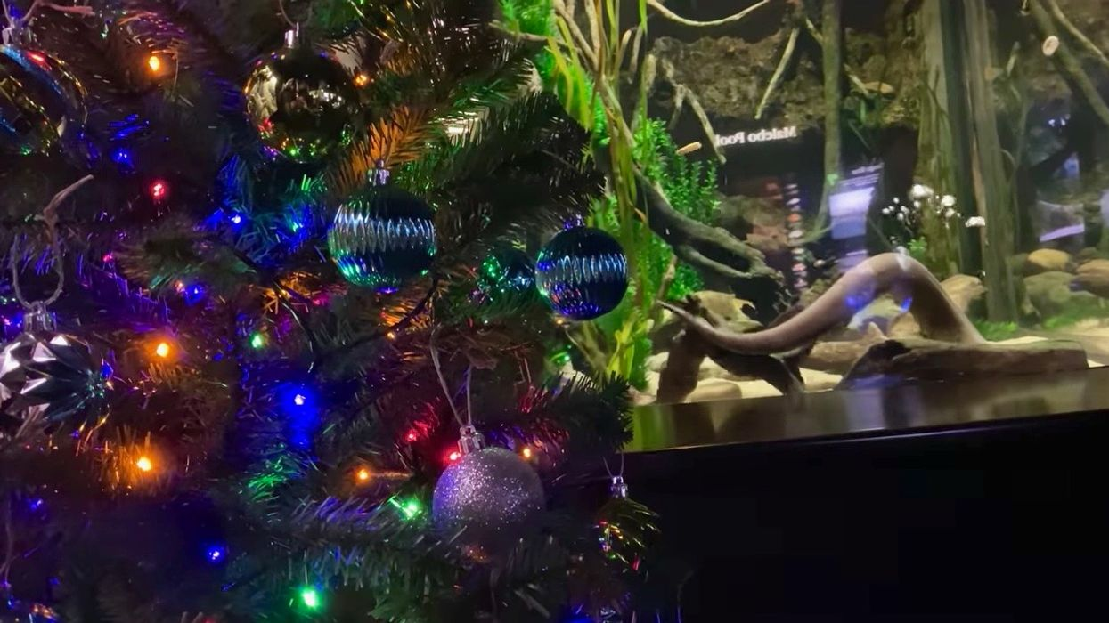 An Electric Eel Is Controlling the Lights on This Tennessee Christmas Tree