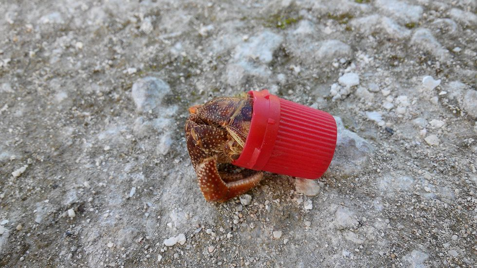 Hermit Crabs Are Making Homes in Plastic Litter and It's Killing Them