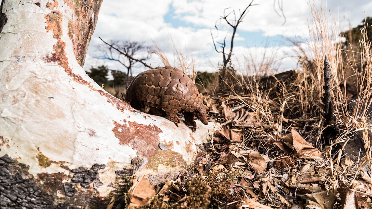 Three Pangolin Species Closer to Extinction