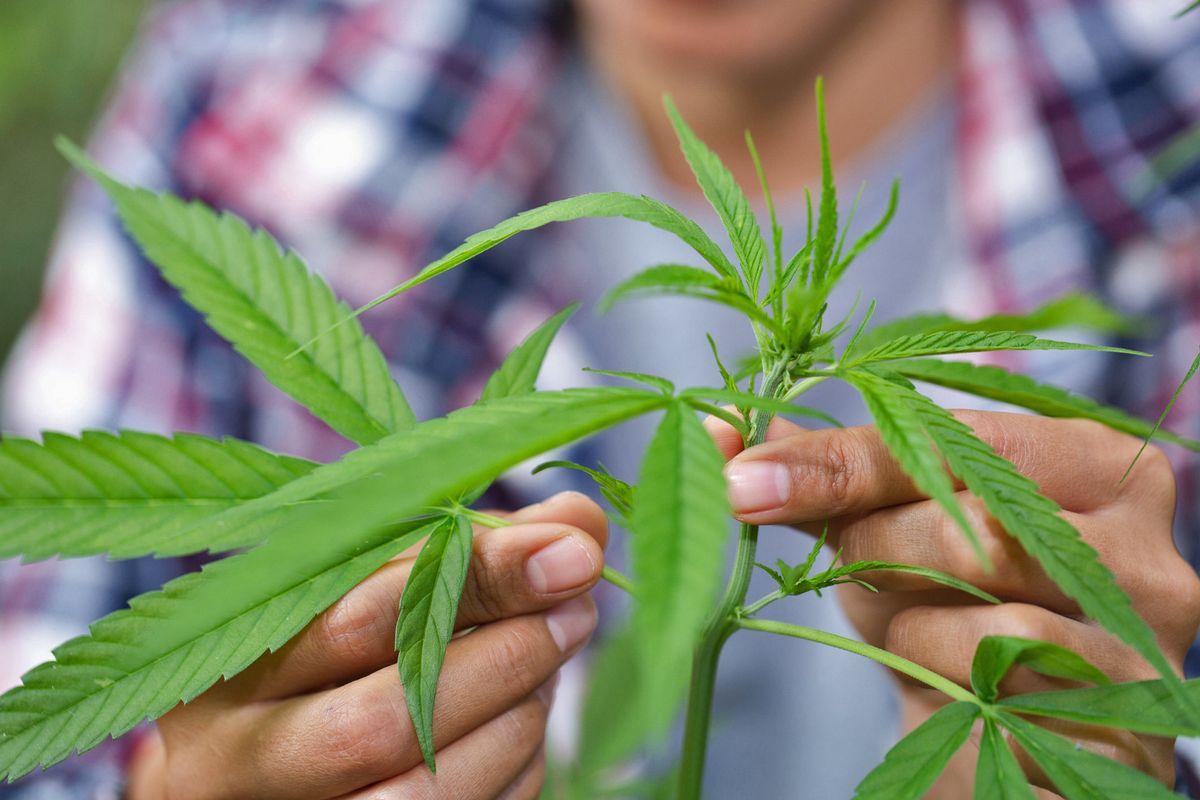 Contivare cannabis in casa non è più reato