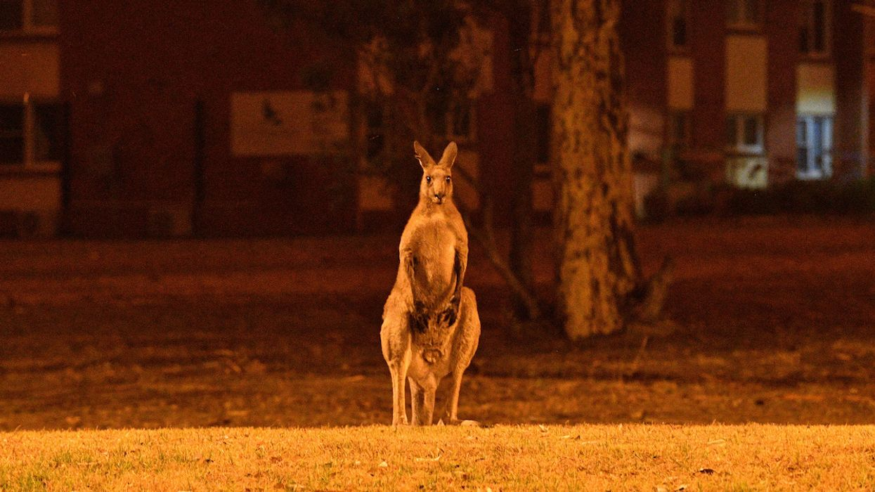 Half a Billion Animals May Have Been Killed by Australia Wildfires