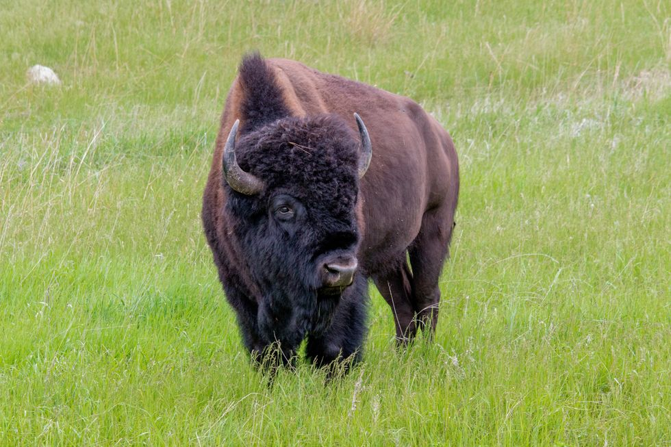 The Life-Changing Philosophy of the Bison