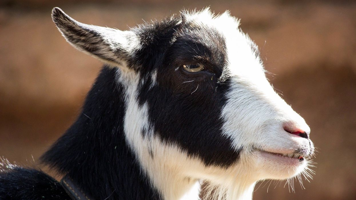 How Goats Are Preventing Wildfires in California