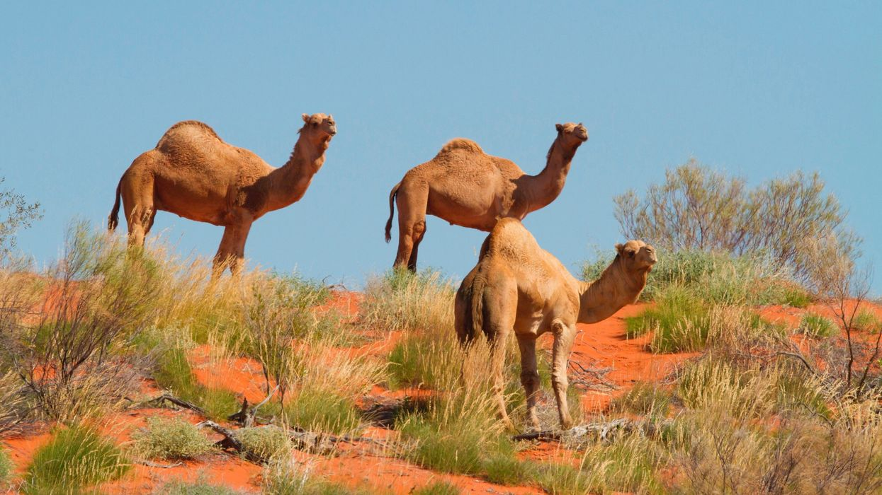 Up to 10,000 Camels Are Being Shot and Killed Amid Australia Drought