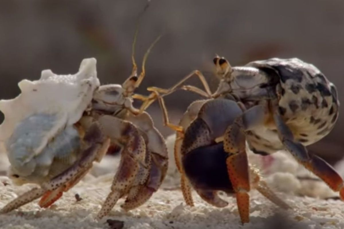 Hermit crabs line up biggest to smallest to exchange shells, and it's mind-blowing to watch