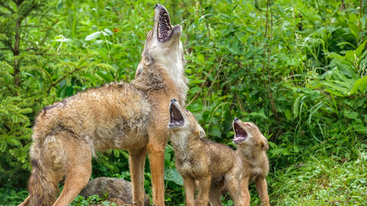 Coyotes Are Poised to Enter South America for the First Time