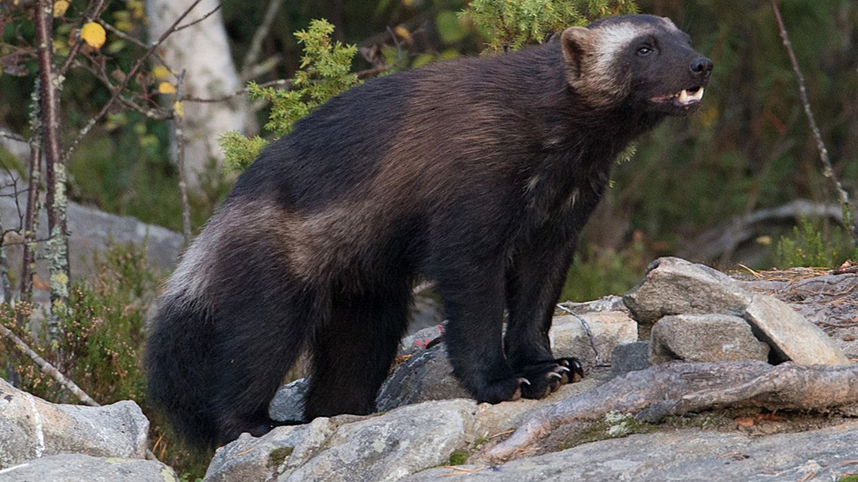 Road to Nowhere: Highways Pose Existential Threat to Wolverines