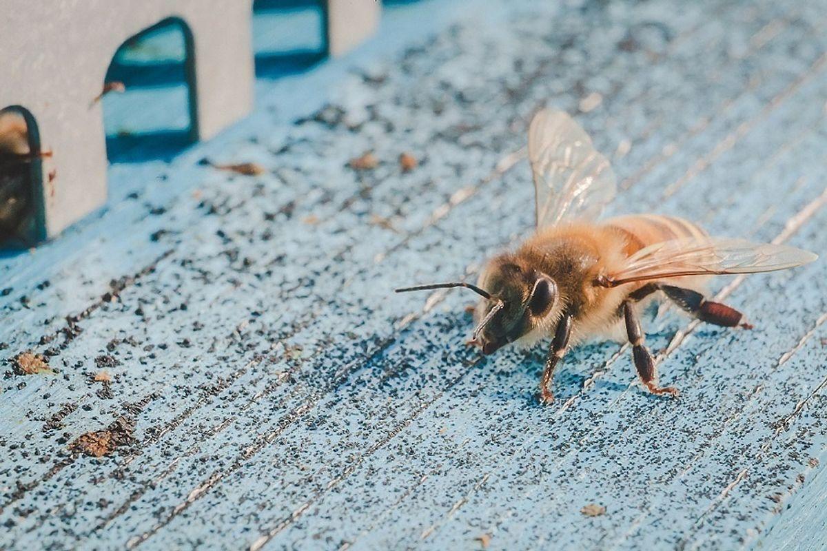 L'arma delle api. La propoli, usata per difendere gli alveari, è una panacea per la salute