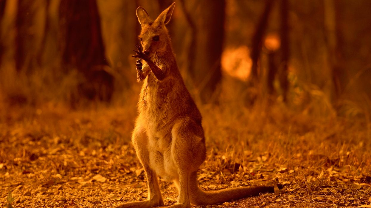 Australia Airdrops Thousands of Carrots, Sweet Potatoes to Wallabies Starving From Wildfires