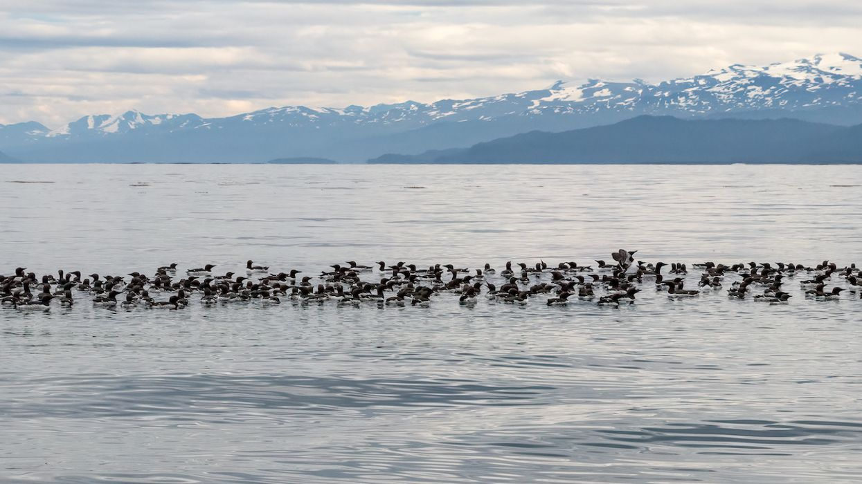 Death of 1 Million Seabirds Tied to Massive 'Blob' of Hot Water in the Pacific