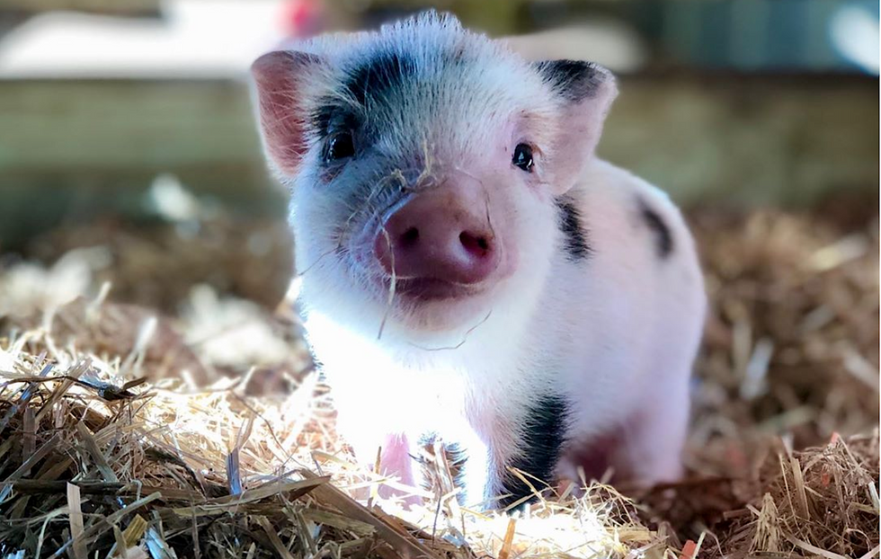 A South Carolina Sanctuary Is Looking For 'Piggy Cuddlers,' And We CAN'T Stop Squealing