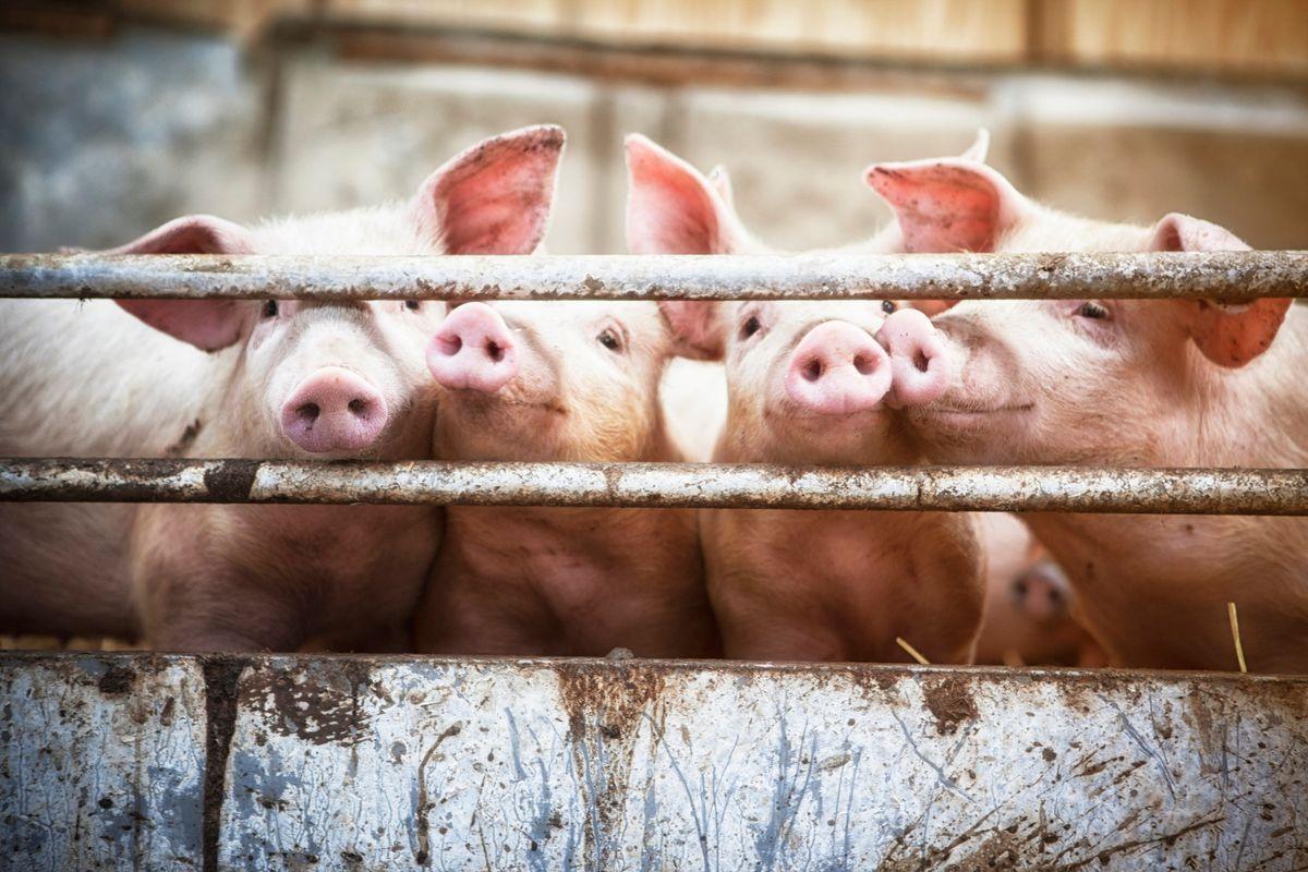 La sostituzione etnica ebbe inizio dal maiale