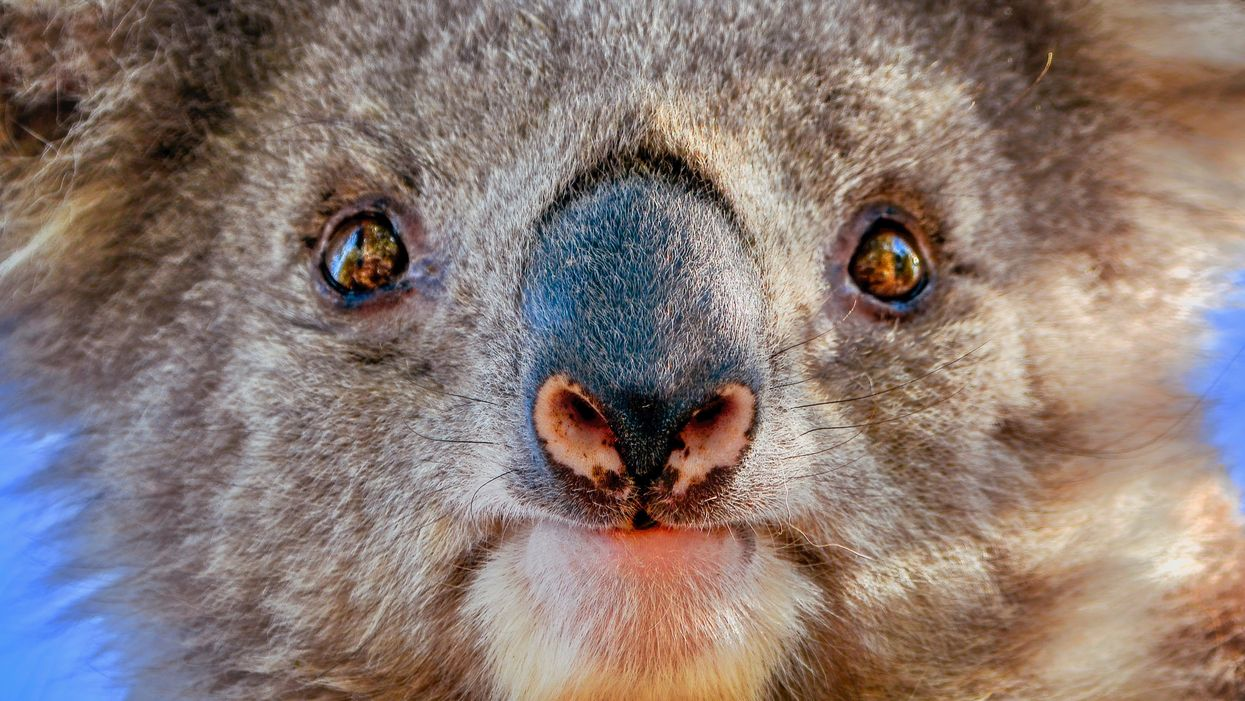 Koalas Found 'Massacred' at Logging Site