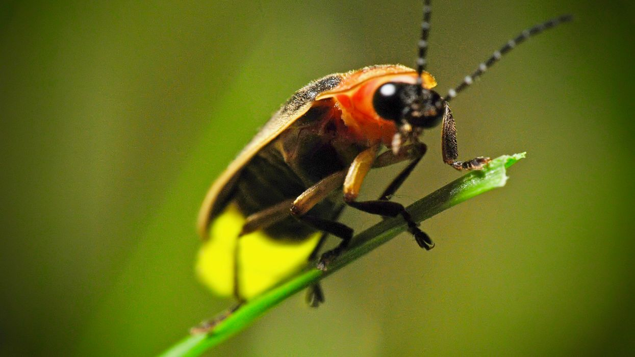Fireflies Face Extinction From Habitat Loss, Light Pollution and Pesticides, Study Says