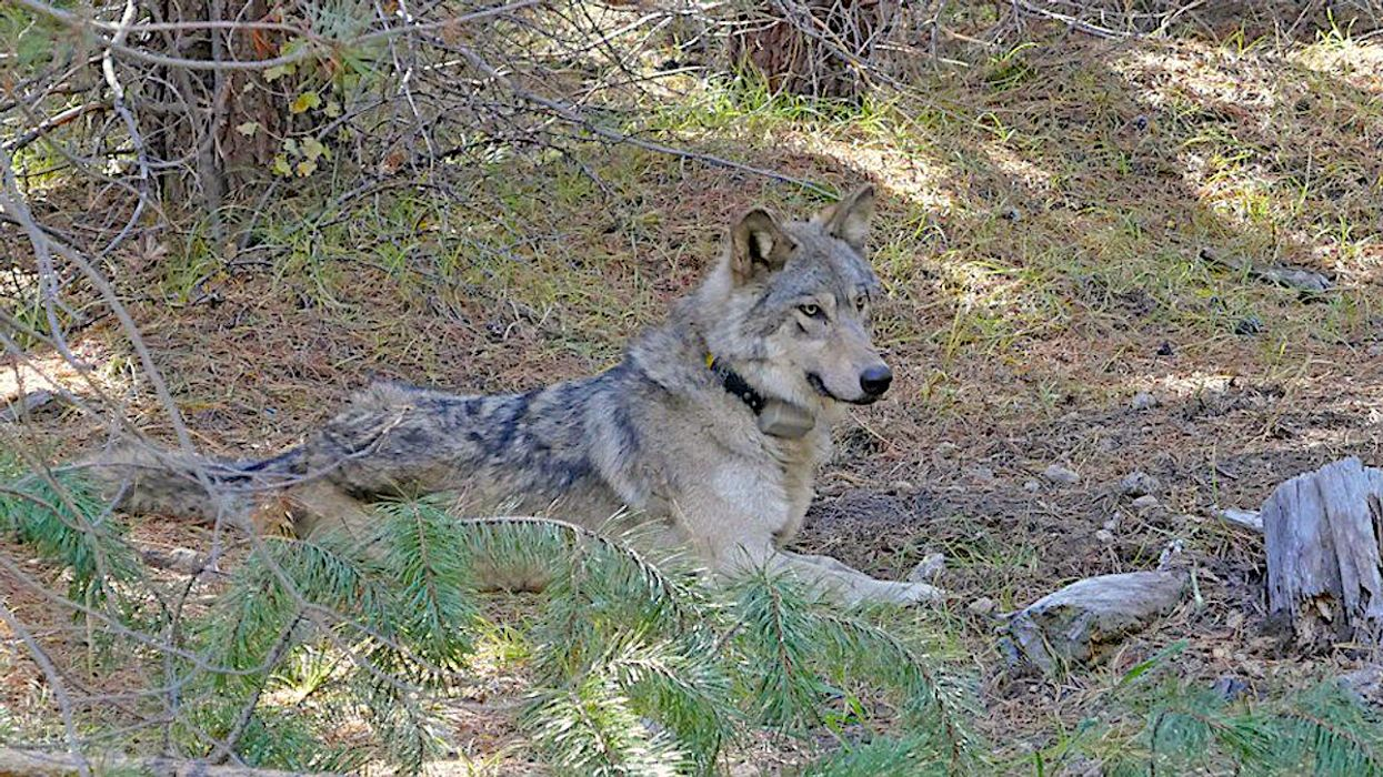Endangered Wolf's 8,700-Mile Journey Ends in Tragedy