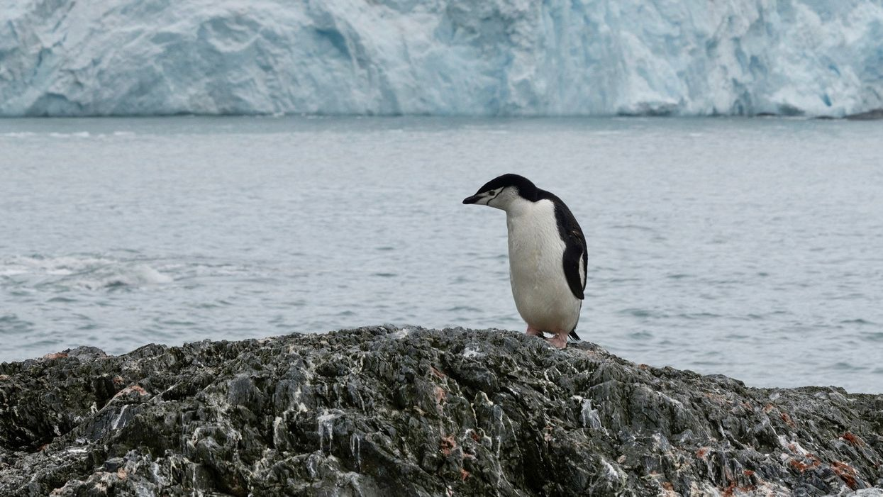 This Penguin Colony Has Fallen by 77% on Antarctic Islands