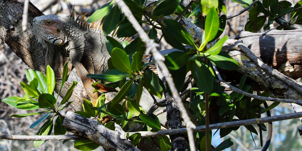 Iguanas Are 'Freezing' and Falling From Trees in Florida (They're Not Necessarily Dead)