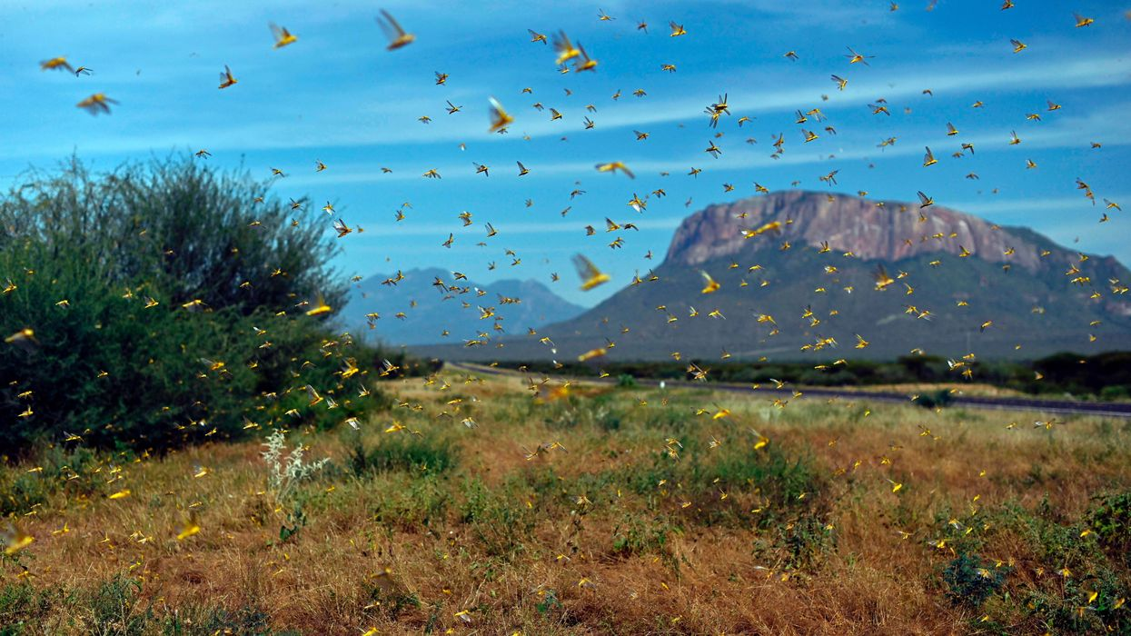Worst Locust Swarm to Hit East Africa in Decades Linked to Climate Crisis