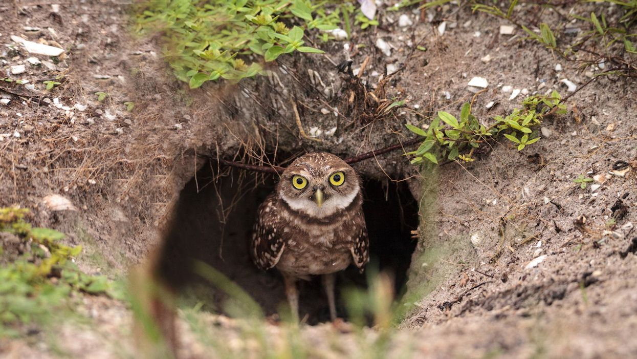 Florida Town Will Pay Residents to Help Burrowing Owls Find a Home