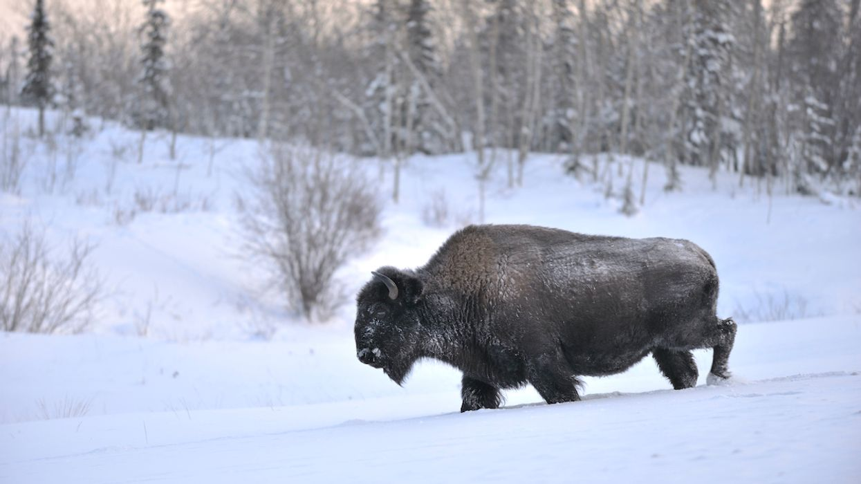Rewilding the Arctic Could Slow the Climate Crisis