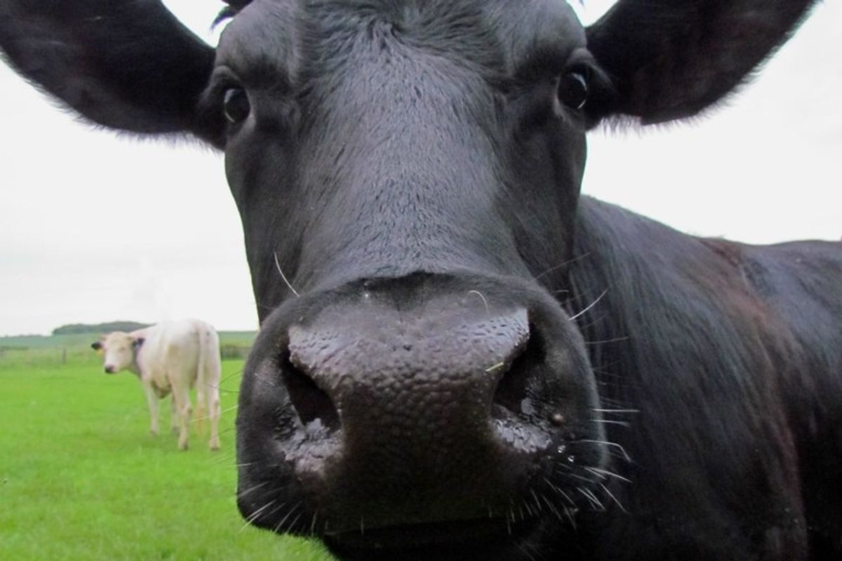Cows go through puberty, and they're full of emotions, according to new study