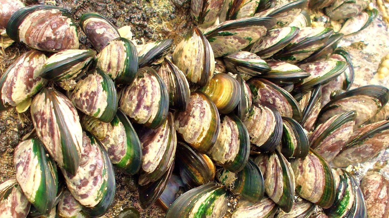Hundreds of Thousands of Mussels Found Baked to Death on New Zealand Beach