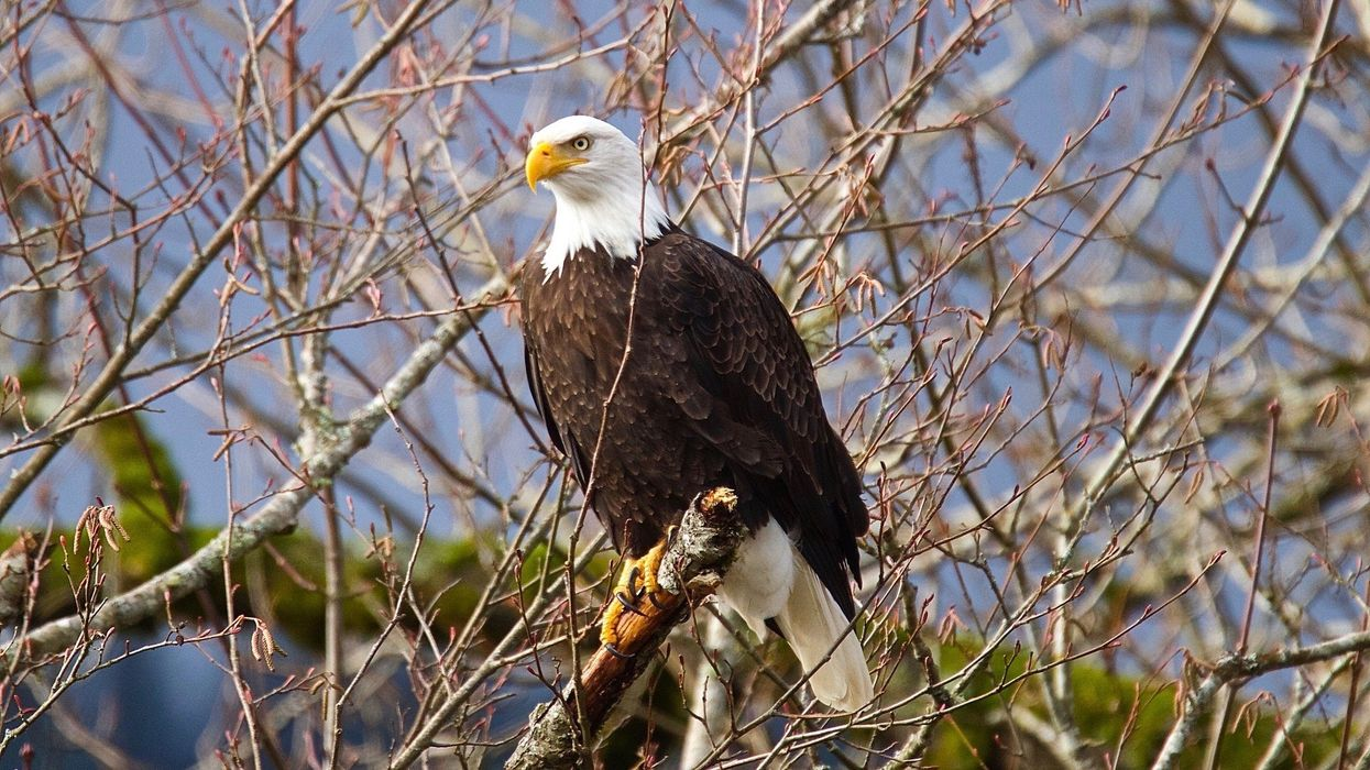 Bald Eagles Are Still Dying From Lead Poisoning