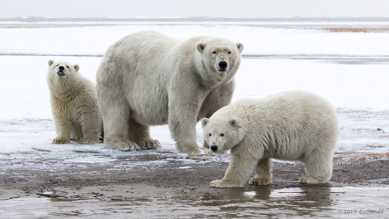 Sea Ice Loss Is Making Polar Bears Thinner, and They're Having Fewer Cubs