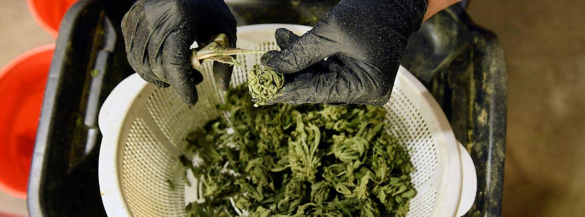 Colorado State University creates 'rigorous' cannabis degree to help meet industry demand