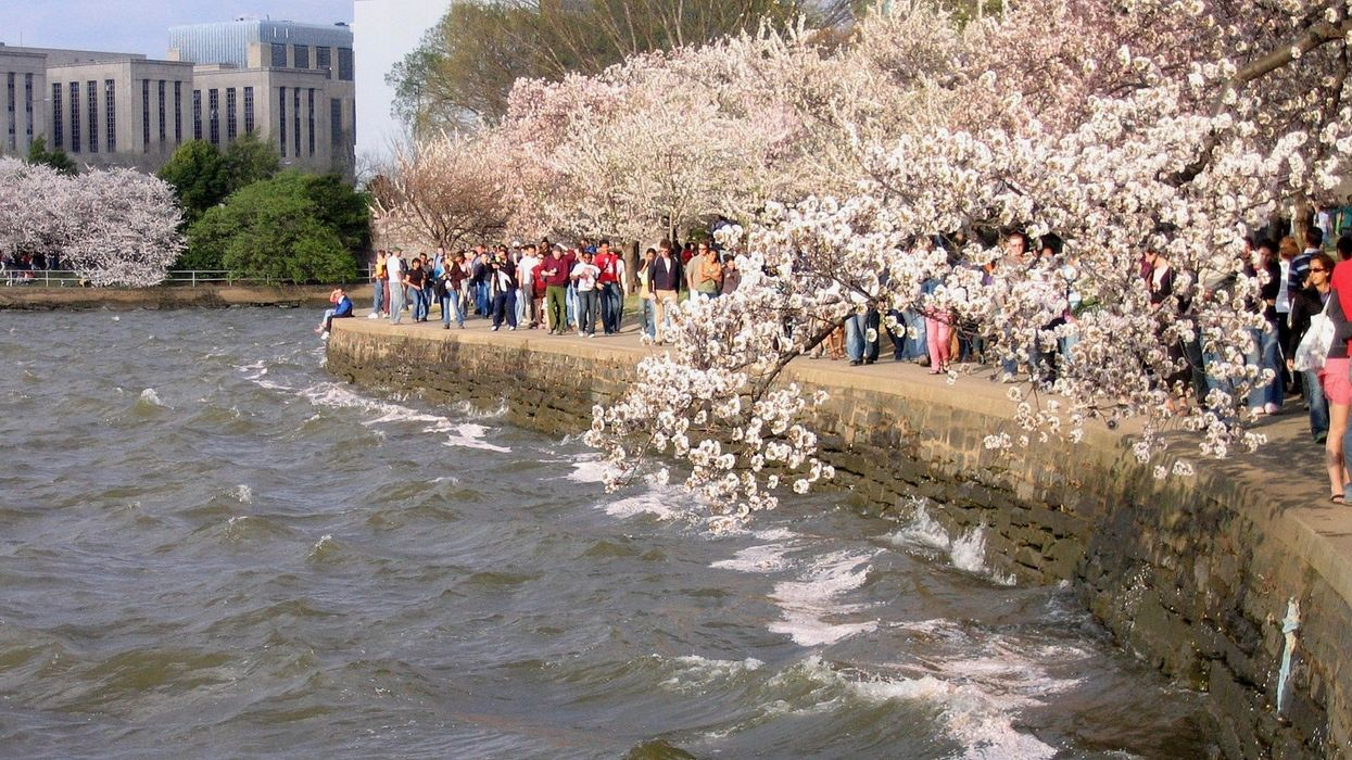 Climate Crisis Is Coming for the Tidal Basin in DC