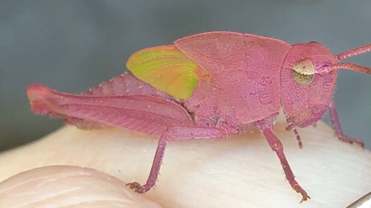 Rare Candy-Pink Grasshopper Discovered By 3-Year-Old In Texas