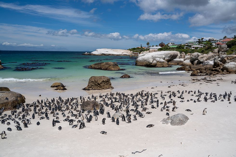 African penguins in Simon's Town at Boulder's Beach