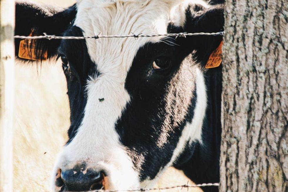An imprisoned dairy cow