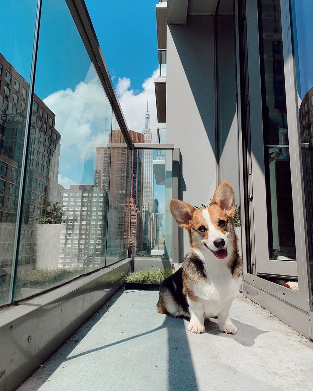 Meet My Dog: Quinci, A Corgi Who Lives In New York City