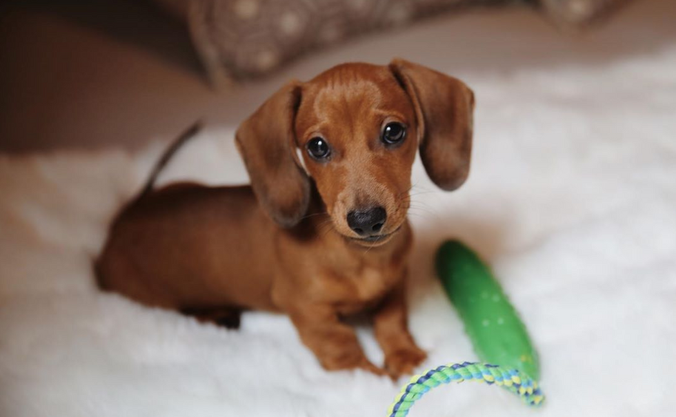 Meet My Dog: Dill, A Miniature Dachshund Who Lives In New York City